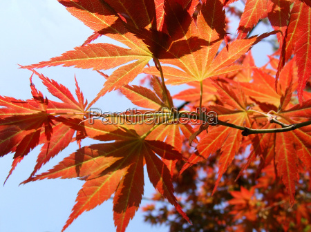folha bordo folhas de outono outubro