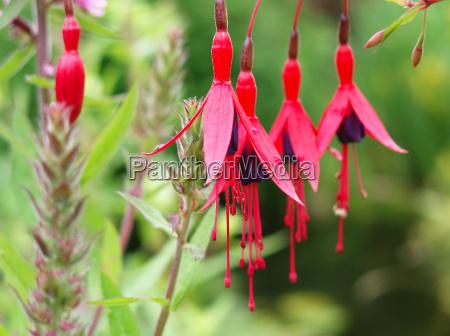 flor planta fucsia arbusto