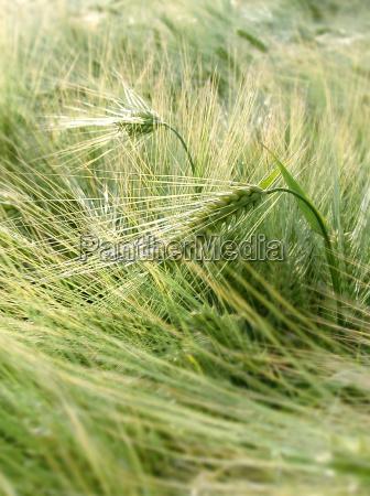planta util grao milharal ouvido cevada
