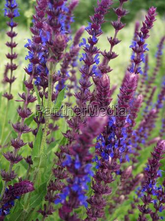 flor planta sabio arbusto
