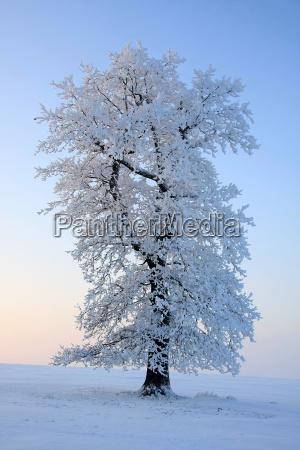 oak in ice coat