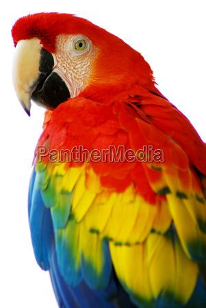 passaro macaw azul vermelho