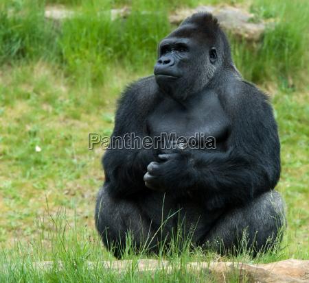 gorila masculino