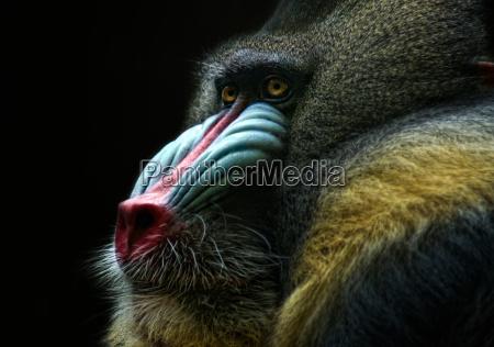 babuino por que tao pensativo