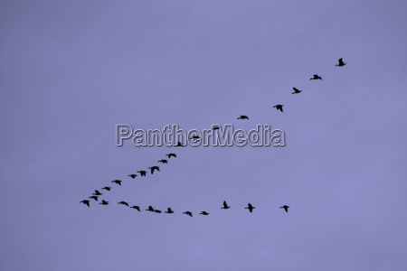 vogelschwarm - 1839689