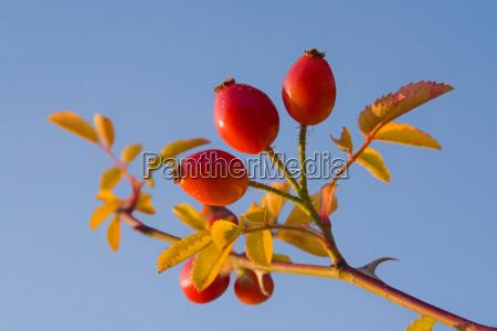 close up botanica fruta ramo quadril