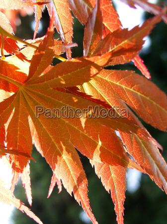 folha bordo folhas de outono folhas