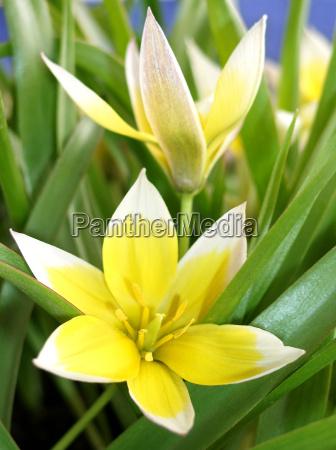 flor planta tulipa