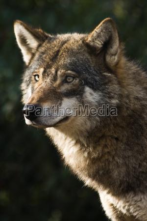 animal mamifero animais mamiferos lobo lobos