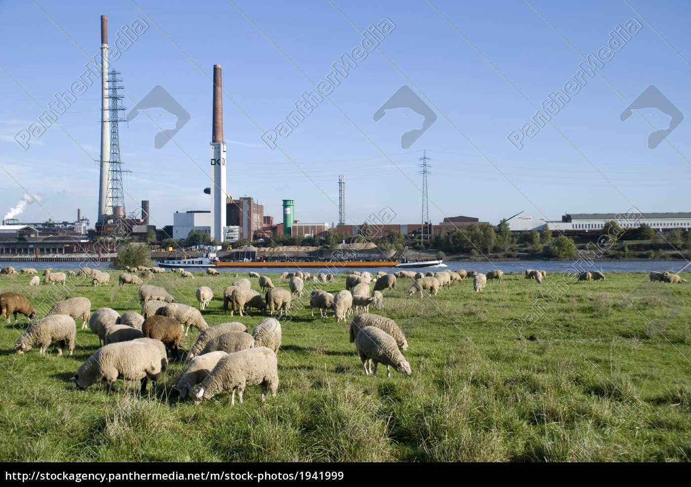 pastagem, de, ovelhas - 1941999