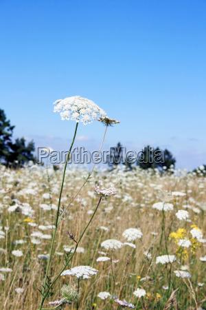 flor planta botanica milefolio prado natureza