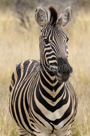 retrato de uma zebra Africa