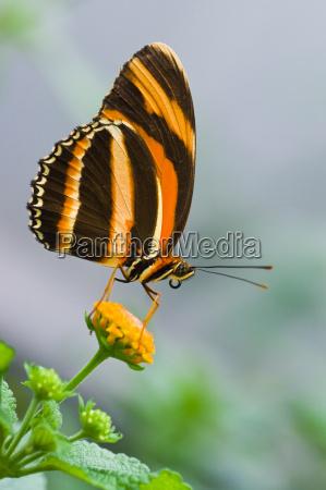animal inseto insetos borboleta animais tropical