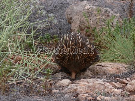 australia ourico
