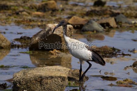 black headed ibis