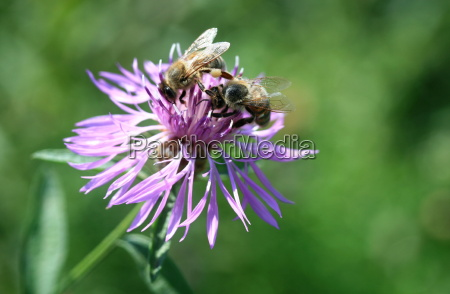 flor nectar prado inseto abelha