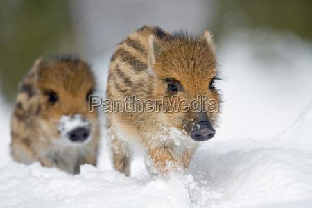 caloiros na neve