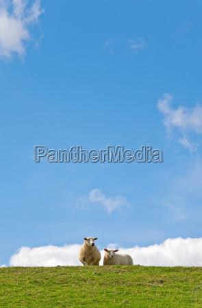 animais ovelha prado ceu natureza nuvens
