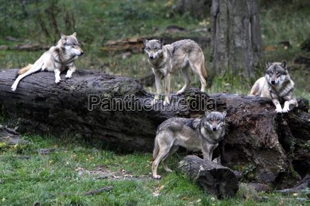 lobos eurasian