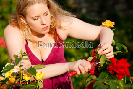 woman cuts roses in the garden