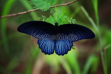 azul luz borboleta asa tailandia mariposa
