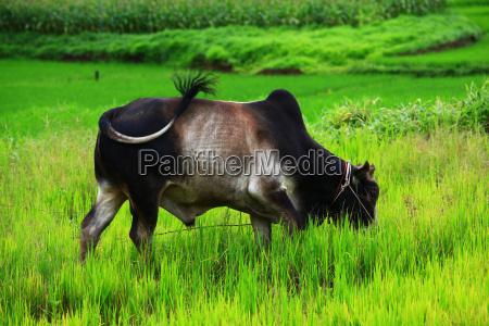 touro tailandia boi
