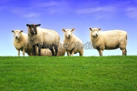 ovelhas do mar do norte no