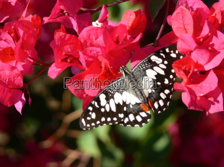 animal inseto flor planta borboleta australia