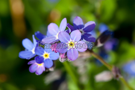 azul close up flor planta miosotis