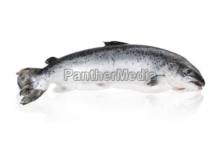 alimento enorme peixe pesca gourmet frutos