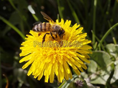 flor planta primavera dandelion prado mel