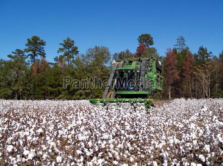 colheita do algodao
