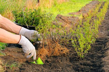 planta de hedge plantando uma cobertura
