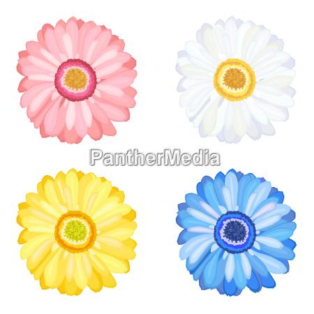 margarida gerbera flores