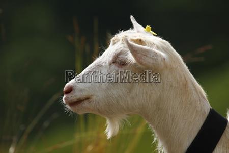cabra suica geiss bode queijo de
