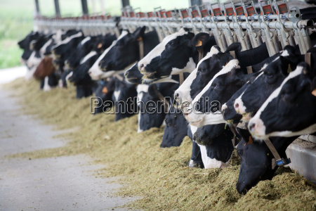 vacas da raca holandesa