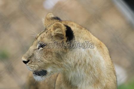 leao gato predador bebe animal bebe