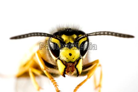 animal inseto voar vespa abelha