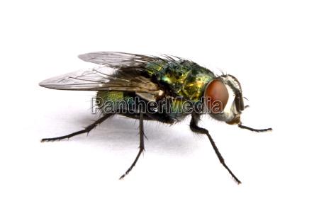 iridescente mosca da casa no fim