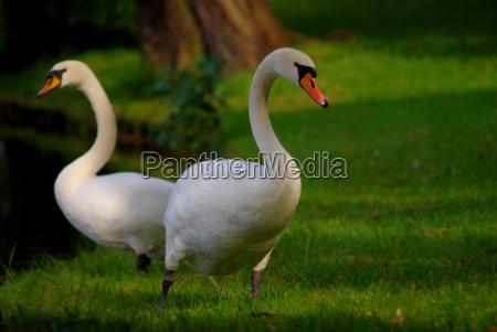 passaro animais cisnes passaros berlim natureza