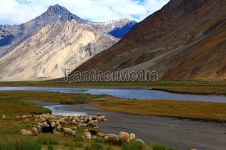 cabra india ovelha la rebanho montanha