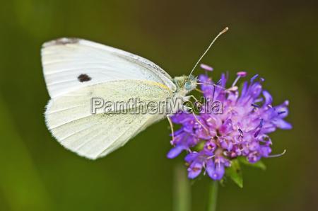 inseto borboleta caucasiano mariposa praga