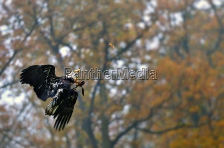 white headed eagle in flight