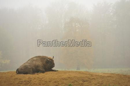 european bison wisent bison bonasus