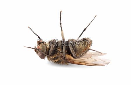 mosca de casa morta