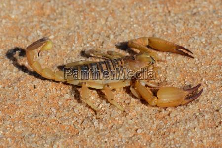 escorpiao agressivo