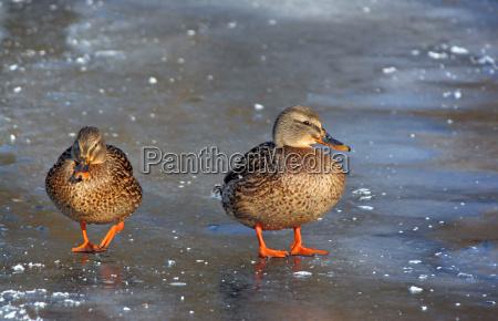patos selvagens no lago congelado