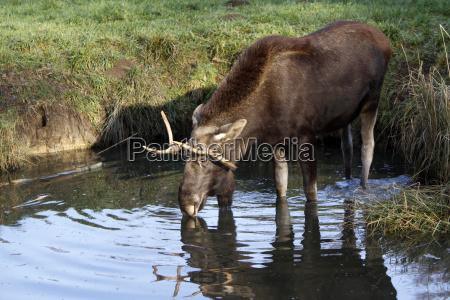 touro alce elen veado
