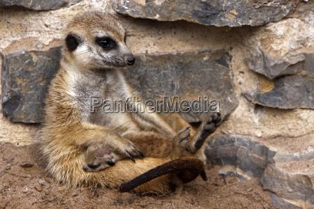 meerkats com bebe