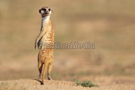meerkat em guarda